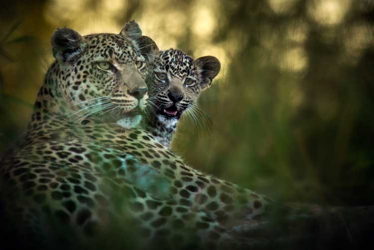 Leopard with cub - Geiger's Camp