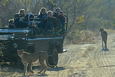 Cheetah daily game drives Shindzela Tented Camp Timbavati Game Reserve South Africa