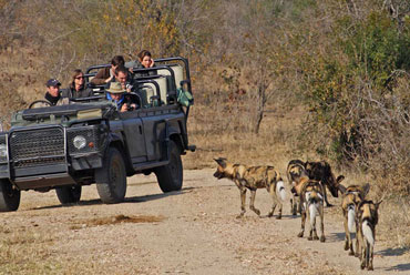 Wild Dog game drives Shindzela Tented Camp Timbavati Game Reserve South Africa