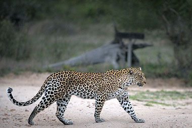 Leopard Big 5 Timbavati Game Reserve Tanda Tula Safari Camp Mpumalanga Luxury South African Safari