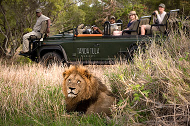 Lion Game Drives Big 5 Timbavati Game Reserve Tanda Tula Safari Camp  Mpumalanga Luxury South African Safari