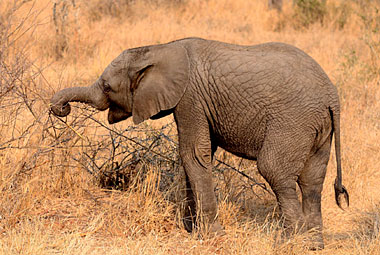 Umlani Bushcamp Elelphant calf Game Drive Timbavati Game Reserve Accommodation Safari Bookings