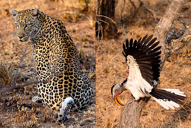 Umlani Bushcamp Game drive yellow billed hornbill Leopard Timbavati Game Reserve Accommodation Safari Bookings