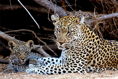 Umlani Bushcamp Leopard Mother cub Timbavati Game Reserve Accommodation Safari Bookings