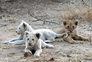 Umlani Bushcamp White Lion cubs Timbavati Game Reserve Accommodation Safari Bookings