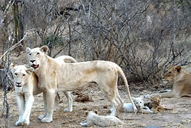 Umlani Bushcamp White Lion pride Sighting game drive Timbavati Game Reserve Accommodation Safari Bookings